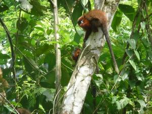 Dusky Titi monkeys